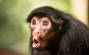Monkey Face Meme - funny monkey images gendiswallpaper com