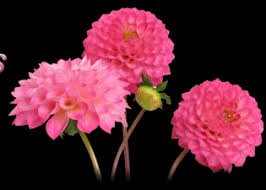 Flowers In Bradenton Fl - dahlias flower facts beneva flowers sarasota florida florist