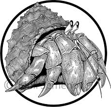 black and white illustration of hermit crab engraving style