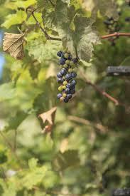 wild riverbank frost grape plants for sale cold stream farm