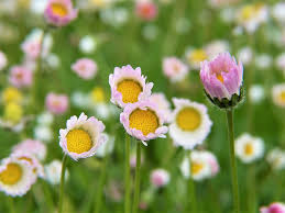 free photo daisy flowers rain garden free image on pixabay