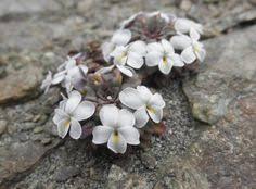 pulsatilla vernalis fiori di montagna alpini fotografia foto
