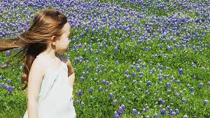 bluebonnets have blossomed in north texas nbc 5 dallas fort worth