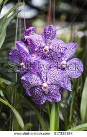 Purple Orchids Purple Orchid Stock Images Royalty Free Images U0026 Vectors
