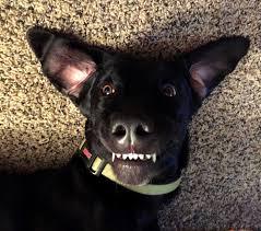 bluetick coonhound terrier mix are best pinterest stunning bluetick coonhound german shepherd mix