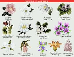 flower encyclopedia provincial floral emblems the canadian encyclopedia
