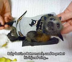 Sock Meme - baby bat in a batman sock used to protect his injured wing funny