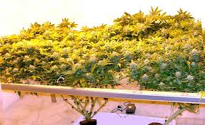 Beginners How To Grow Just by 5 Ways To Increase Yields With Any Strain Grow Weed Easy