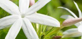 Jasmine Flowers 28 Amazing Benefits Of Arabian Jasmine For Skin Hair And Health