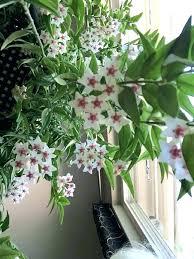 plants low light low light hanging plants indoors indoor house plants low light low