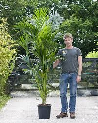 large houseplants howea forsteriana kentia palm house of plants