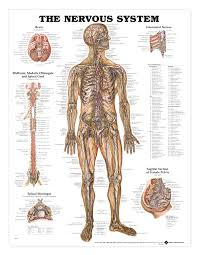 Nervous System Concept Map Endocrine System Concept Map