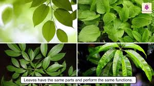 all about plant leaf types of leaves photosynthesis science