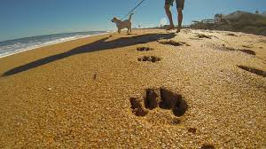 palm coast and the flagler beaches are pet friendly