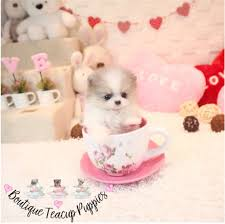 Seeking Teacup Looking For Teacup Pomeranian Dogs Puppies Gumtree