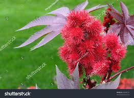castor been plant ricinus communis herbaceous stock photo 38298337