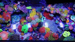 led lighting for zoanthids jourdy s 90 gallon reef tank will add a burst of color to your day
