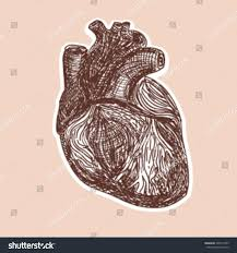 real human heart sketch great your stock vector 248157493