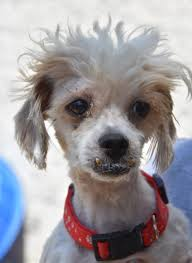 shi poo shih poo dog for adoption in philadelphia pa adn 607770 on