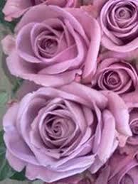 lavender roses lavender roses for sale cheap lavender roses flower explosion