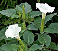 White Trumpet Flower - dark purple and lime green petunias might be a good combo for