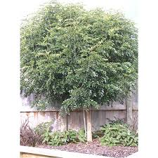 australian native screening plants evergreen flowering ash evergreen trees mature perth wa