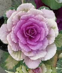 38 best cabbage and kale images on ornamental cabbage