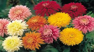 chrysanthemum flowering plant comes in several shapes