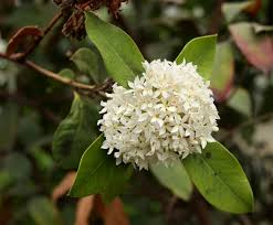 Tree With Little White Flowers - acokanthera rotundata grows as a shrub or small tree its fragrant