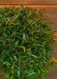 Eugenia Topiary Monterey Bay Brush Cherry Monrovia Monterey Bay Brush Cherry