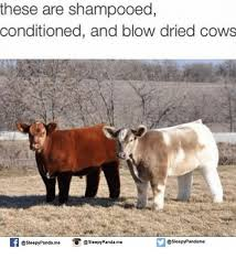 Cow Memes - 25 best memes about dried cow dried cow memes