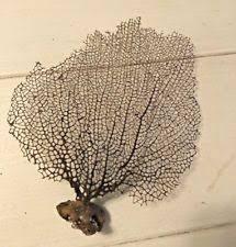 dried sea fans for sale sea fan shells ebay