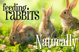 feeding rabbits naturally growing and making your own rabbit feed