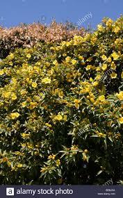 Yellow Flowering Bushes And Shrubs Yellow Flowering Shrub Taken In Johannesburg South Africa Stock