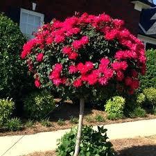 flowering trees for small gardens uk evergreen flowering trees for