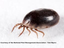 blacklegged deer ticks removal u0026 control of deer ticks