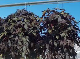 plant guide ipomoea batatas blackie blackie sweet