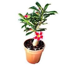 indoor plants india indoor plants buy indoor plants online indoor plant shop in india
