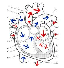 heart labeling key