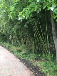 premium plant kentia palm is an elegant tall indoor tall bamboo