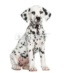 dalmatian stock photos royalty free dalmatian images pictures