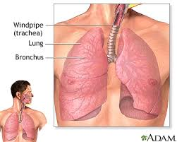 Human Anatomy Respiratory System Anatomy And Function Of The Respiratory System Penn State
