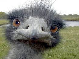 with turkey shortage from bird flu many opting for emu on
