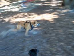 all about bruschi and ebby too first trip to the dog park
