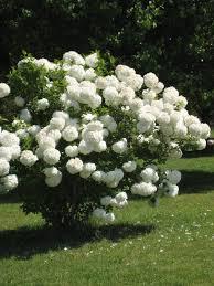 s most flowering shrub popcorn backyard and snow
