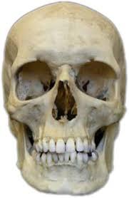 Human Anatomy Skull Bones Human Skull Bones Pinterest Human Skull Anatomy And Skull