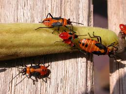 image of milkweed bugs, borrowed from t0.gstatic.com