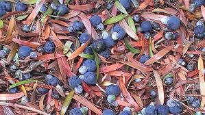 edible australian native plants edible natives local u0026 bespoke