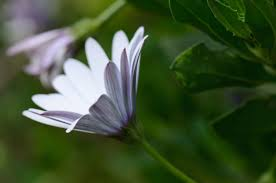 madagascar native plants madagascar african daisy sideview by fchristant jungledragon