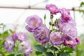 purple roses the meaning of purple roses that ll make you them more